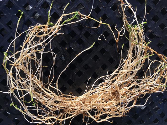 Springbank Clover rhizomes
