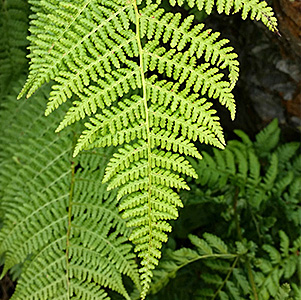 Spreading Wood Fern thumbnail image