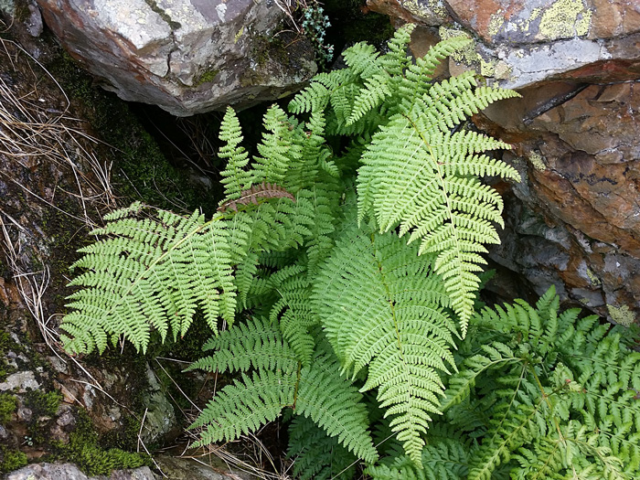 Spreading Wood Ferns. By Joan Simon, https://www.flickr.com/photos/simonjoan/, https://creativecommons.org/licenses/by-sa/2.0/
