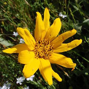 California Compassplant thumbnail image