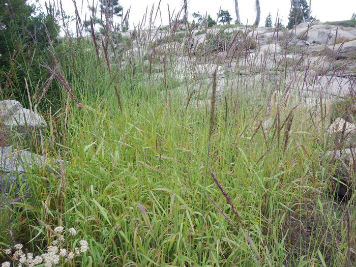 Wild Rye bush.  By Matt Lavin - Elymus glaucus - https://www.flickr.com/photos/plant_diversity/, https://creativecommons.org/licenses/by/2.0/