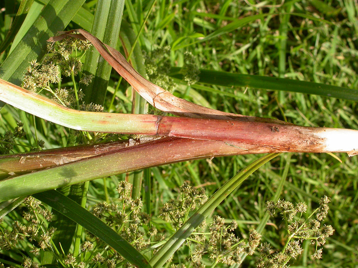 Panciled Bulrush stem