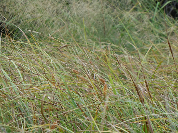 Northwest Territory Sedge grass.  By Matt Lavin - Carex utriculata, CC BY-SA 2.0, https://commons.wikimedia.org/w/index.php?curid=22753368