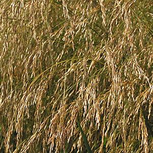 Slender Hairgrass thumbnail image
