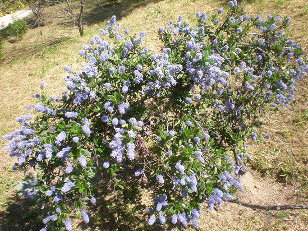 Blue Blossom Ceanothus shrub.  By Consultaplantas - Own work, CC BY-SA 4.0, https://commons.wikimedia.org/w/index.php?curid=44961925