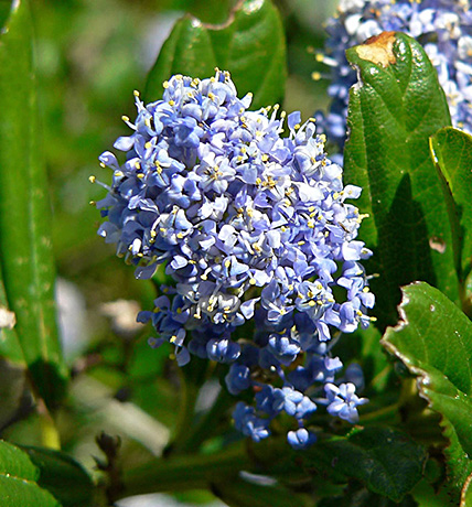 Blue Blossom Ceanothus flower.  By Stan Shebs, CC BY-SA 3.0, https://commons.wikimedia.org/w/index.php?curid=3232069