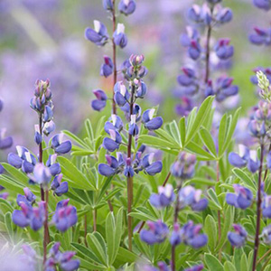Riverbank Lupine