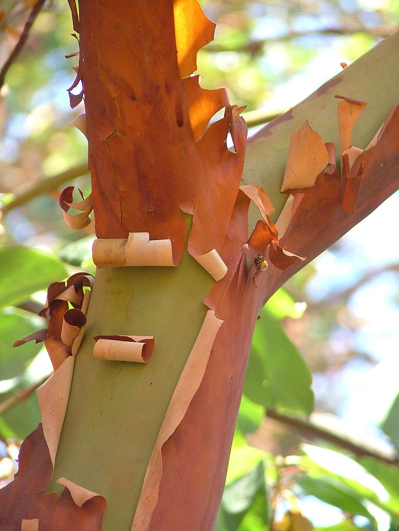 Pacific Madrone tree limb.  By Original photo by and (c)2007 NaJina McEnany. Photo prepared by User:Ram-Man. Used by permission. - NaJina McEnany, CC BY-SA 2.5, https://commons.wikimedia.org/w/index.php?curid=1730711