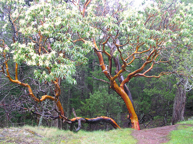 Pacific Madrone (Arbutus menziesii). Photo by brewbrooks flickr.com (CC 2.0)