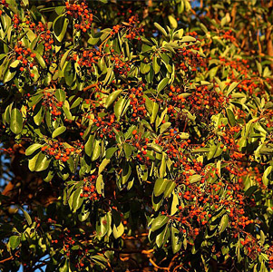Pacific Madrone thumbnail image