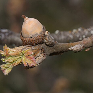 Oregon White Oak - Bare Root thumbnail image