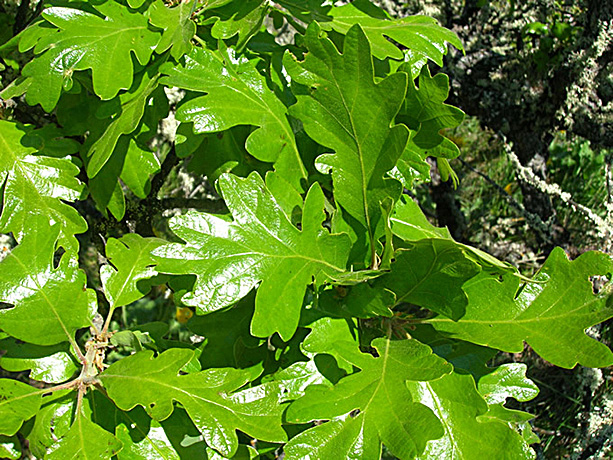 Oregon White Oak leaves.  By J Brew - Quercus garryana (Garry Oak), https://www.flickr.com/photos/brewbooks/, https://creativecommons.org/licenses/by-sa/2.0/