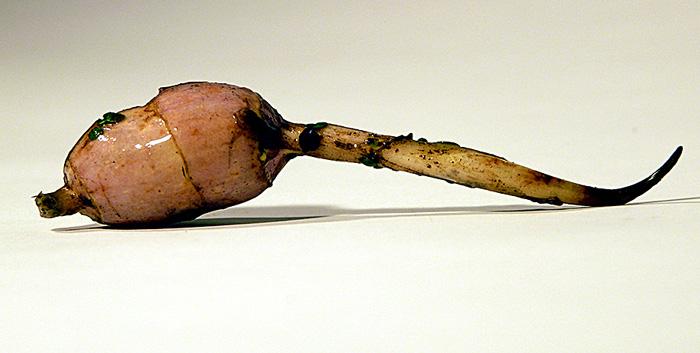 Indian Potato tuber