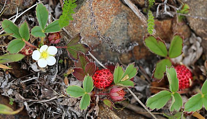 Coastal Strawberry fruit flowers