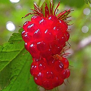 Salmonberry thumbnail image