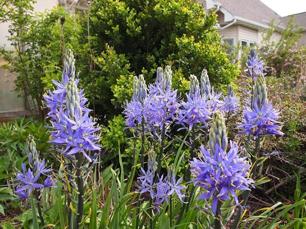 Great Camas shrub
