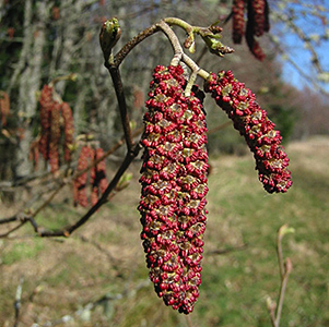 Red Alder ~ Bundle of 3 Bare-root