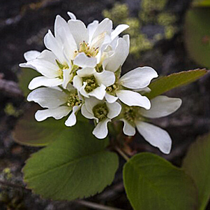 Saskatoon Serviceberry - Bare Root