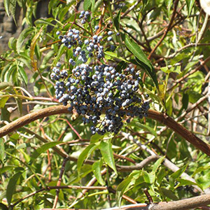 Blue Elderberry - Bundle of 3 Bare-Root