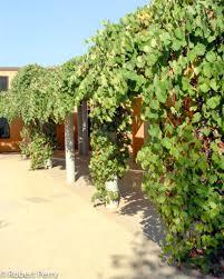 California Wild Grape vines