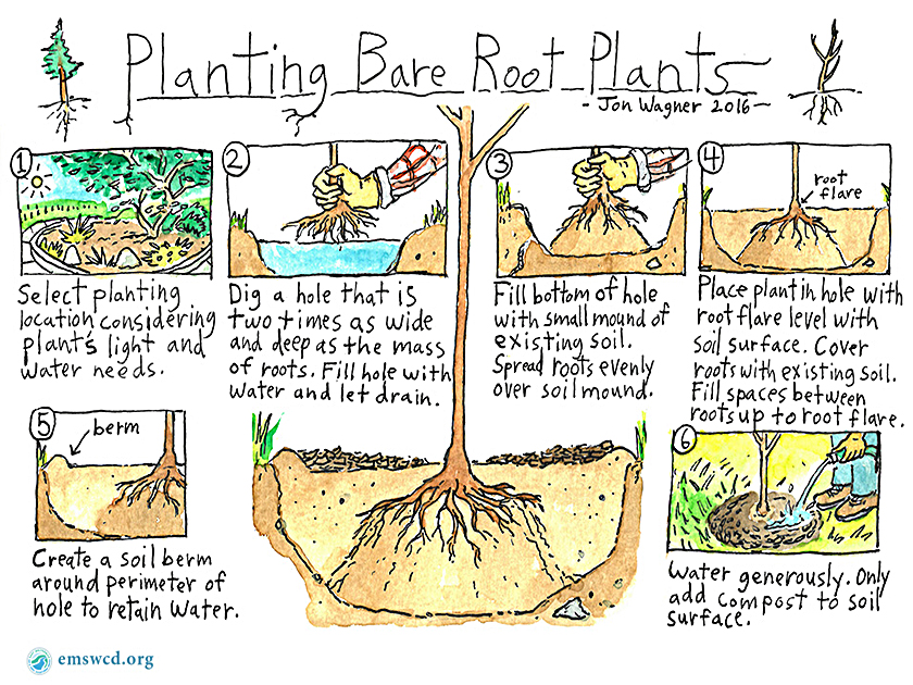 How to Plant Bare Root Plants