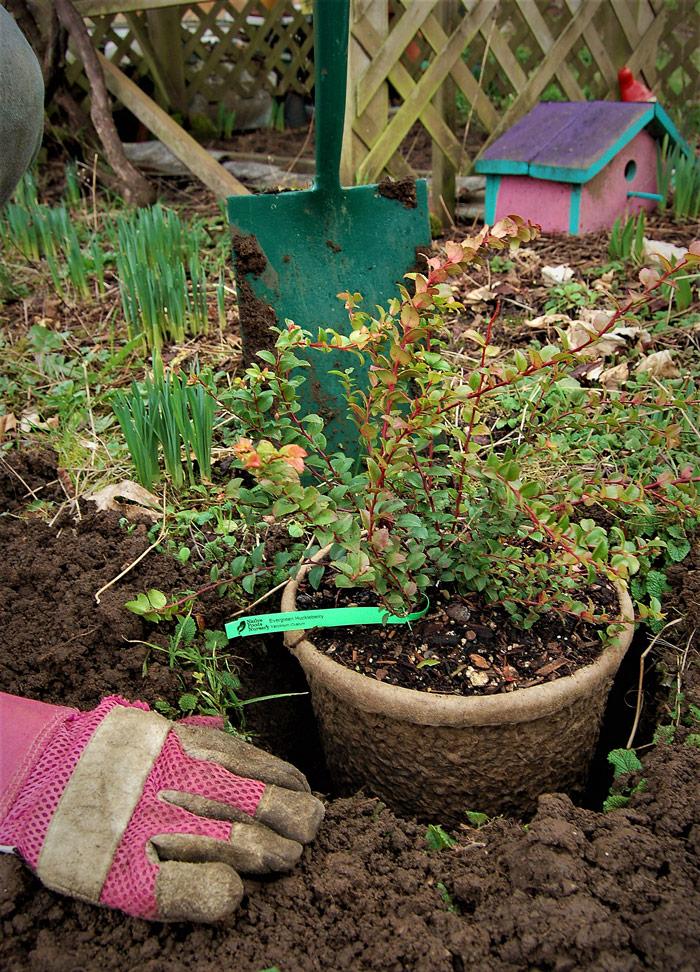 darcy planting evergreen huckleberry
