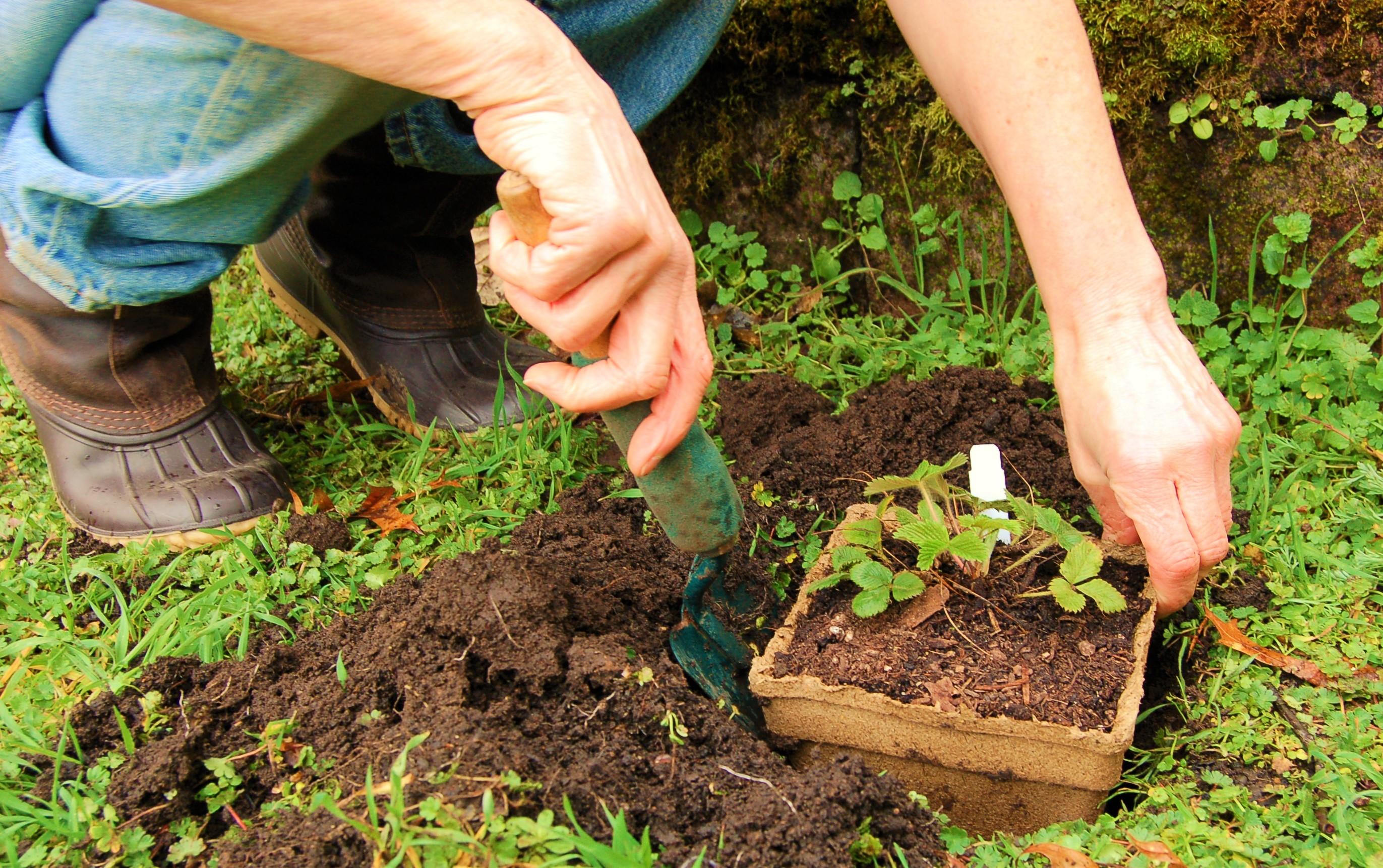 darcy-planting-strawberry.jpg