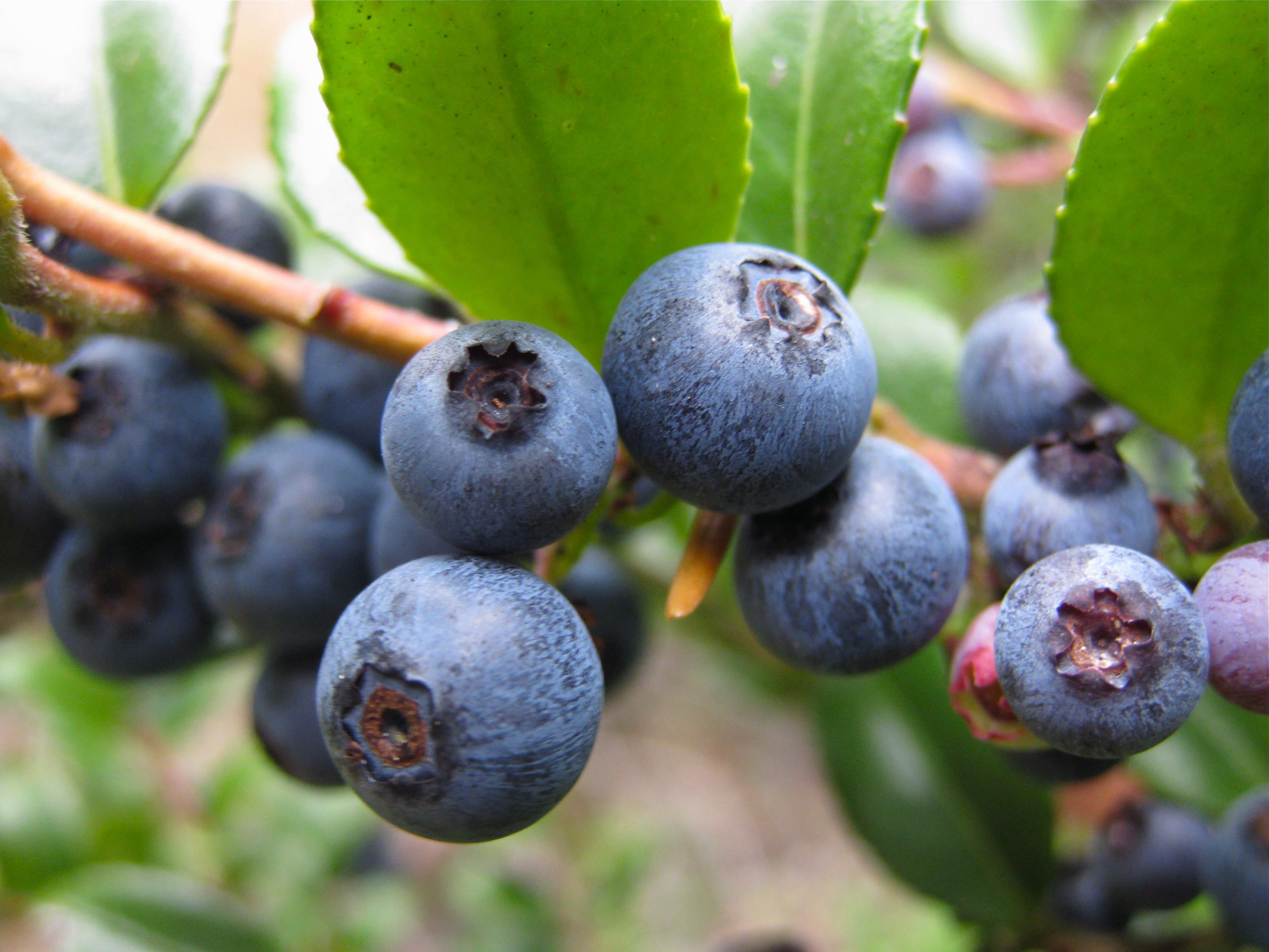 Blueberries closeup on bush