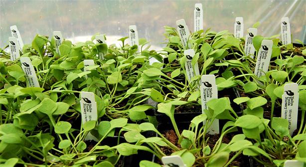 miners lettuce pots