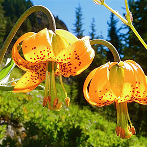 Tiger Lily Native Wildflowers For Sale Native Foods Nursery