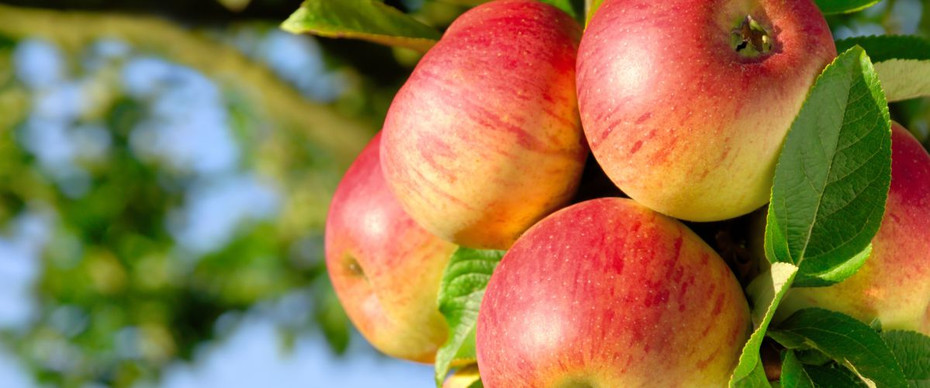 How to Prune Apple Trees in your garden.