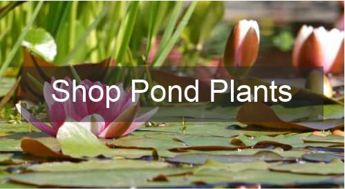 Buy Pond Plants