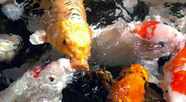 Koi and Pond Fish For Sale