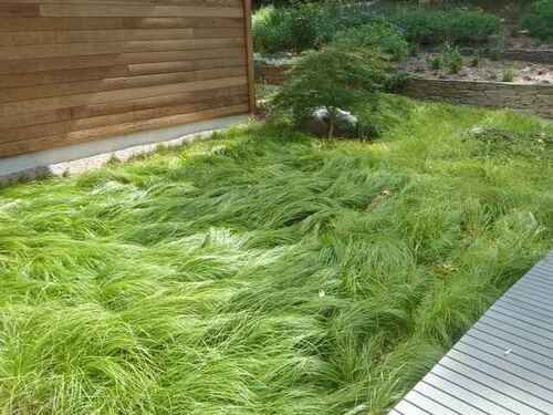 Pennsylvania Sedge is a clumping, low growing grass.