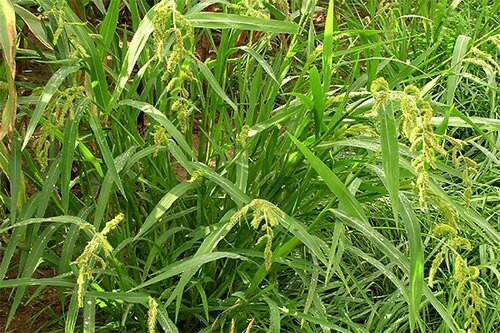 Barnyard grass is an annual grassy weed.