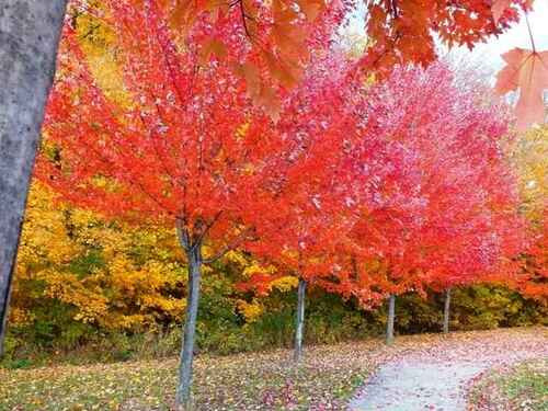 Red Maple Live Stakes produce vibrant fall foliage and is  a famous tree for landscaping due to its low maintenance.