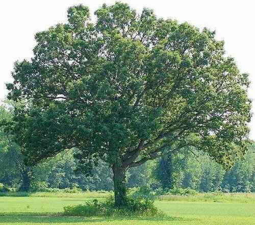 Swamp White Oak Tree is popular for its lumber production.