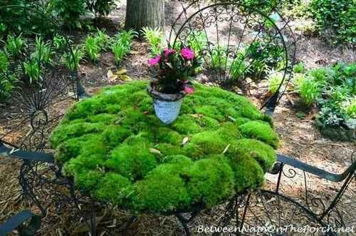 Cushion moss will need to be watered often if the air is dry