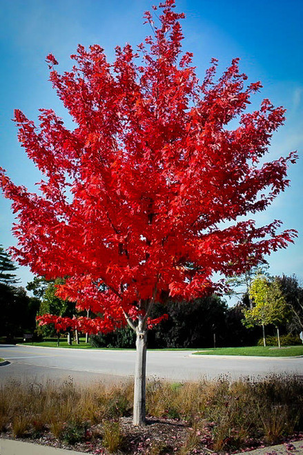 Scarlet Red Maple produces a vibrant fall foliage.