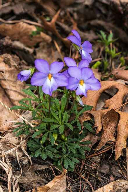 Birds foot violet are spring bloomers.