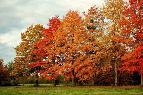 Pin Oak Tree  is a straight and slender tree that many people love to see in their backyards.
