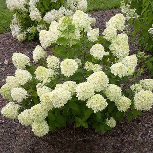 Snow Hill Hydrangea trees  grow best when planted in zones 3-9