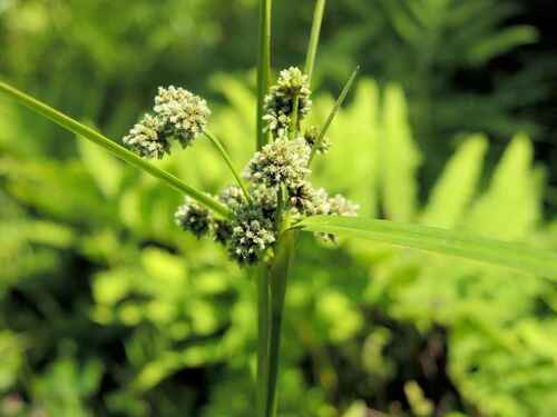 Green Bulrush grows about 2-4 inches from the ground.
