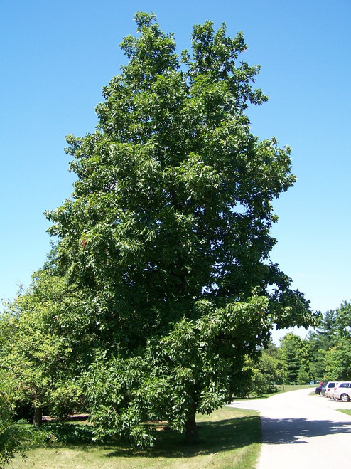 Hickory Tree is a hard , shock resistant tree.