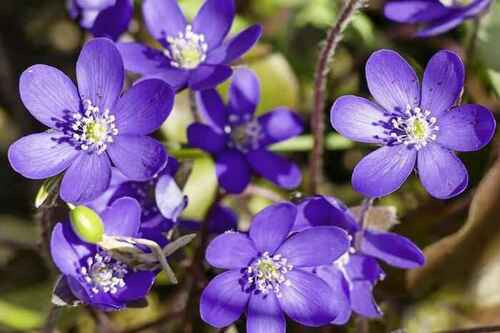 Hepatica Plant grows best in shady locations