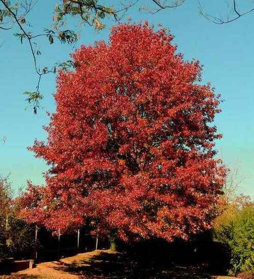 Red Oak Trees can tolerate both shade and drought conditions.