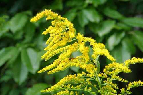Goldenrod Plant  grow between 1 1/2 to 5 feet tall.