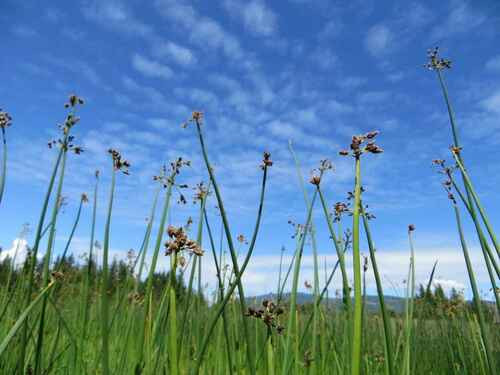 Hard Stem Bulrush reaches its maximum height ranging from six feet to nine and a half feet.