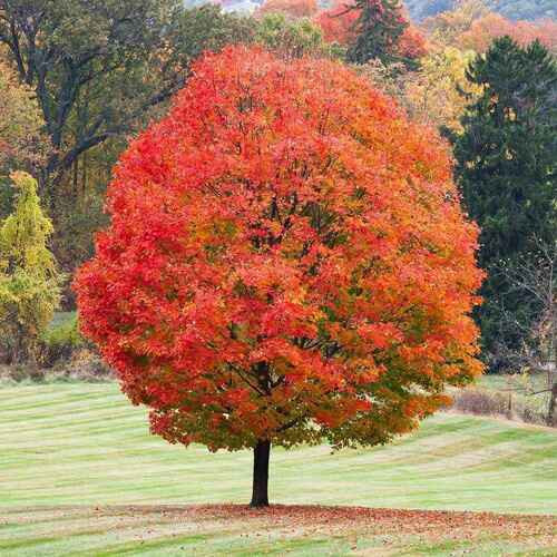 Sugar maple tree  tolerates shade, likes a well-drained, moderately moist, fertile soil.