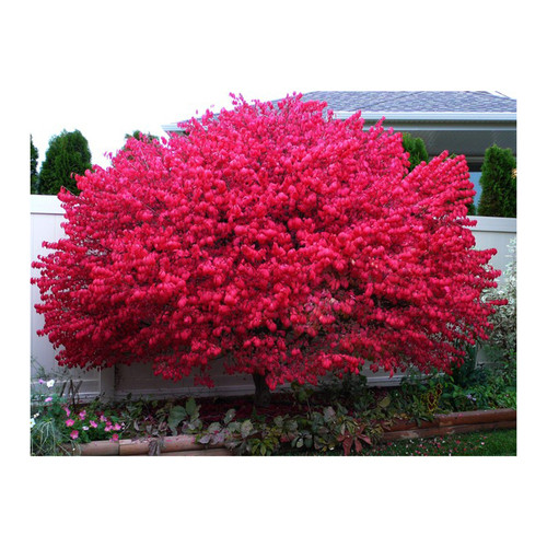 Burning brush grow hardy in Zones 4-8. and will provide years of beauty in your landscape.